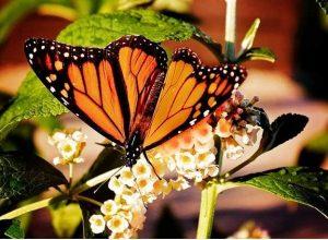 Colonial Gardens Butterfly Festival