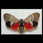 Spotted Lanternfly Concerts