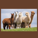 Alpacalypse at the library!