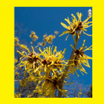 Witchhazel is your Favorite?