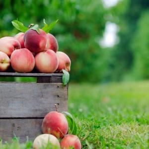 Linvilla Orchards Peach Festival